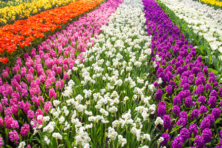 Colorful tulip flower field. Multicolored bright tulips flowers. Typical Dutch landscape. Spring in the Netherlands. Standard-Bild - 100367987