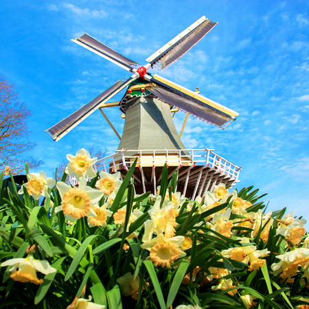 Old windmill and spring daffodils flowers. Spring sunny day. Typical Dutch landscape. Spring in the Netherlands. Standard-Bild - 100349545