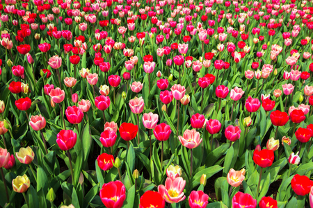 Colorful tulip flower field. Multicolored bright tulips flowers. Typical Dutch landscape. Spring in the Netherlands. Standard-Bild - 100361784