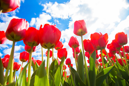 Spring tulip flower field. Red bright tulips and blue sky. Spring flowers background or texture. The Netherlands flower industry. Standard-Bild - 100373528