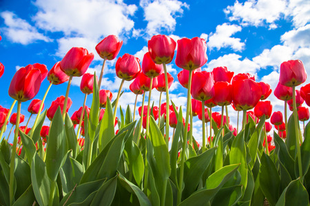 Spring tulip flower field. Red bright tulips and blue sky. Spring flowers background or texture. The Netherlands flower industry. Standard-Bild - 100379223
