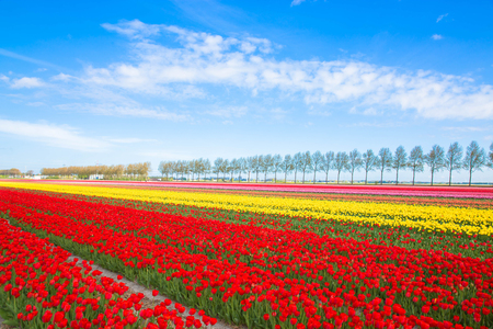 Colorful tulip flower field. Multicolored bright tulips flowers. Typical Dutch landscape. Spring in the Netherlands. Standard-Bild - 100349542