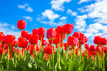 Spring tulip flower field. Red bright tulips and blue sky. Spring flowers background or texture. The Netherlands flower industry. Standard-Bild - 100361785