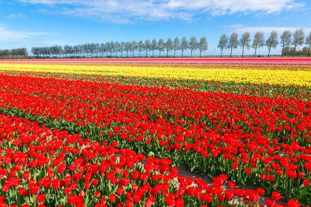 Colorful tulip flower field. Multicolored bright tulips flowers. Typical Dutch landscape. Spring in the Netherlands. Standard-Bild - 100554095