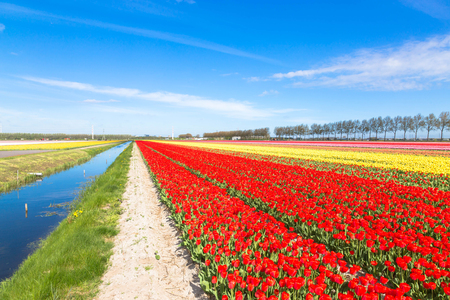 Colorful tulip flower field. Multicolored bright tulips flowers. Typical Dutch landscape. Spring in the Netherlands. Standard-Bild - 100373529