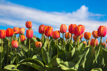 Field of orange tulips flowers. Orange tulip is a Dutch symbol by the name of the dynasty of Oranje. Spring blooming tulip field. The Netherlands flower industry. Standard-Bild - 100554096