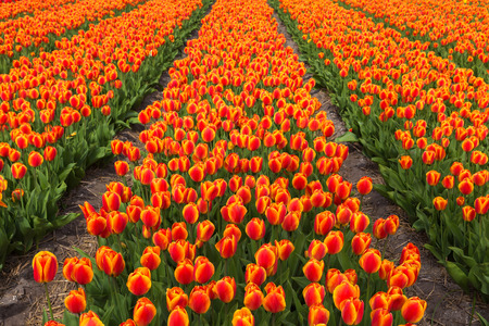 Field of orange tulips flowers. Orange tulip is a Dutch symbol by the name of the dynasty of Oranje. Spring blooming tulip field. The Netherlands flower industry. Standard-Bild - 100379224