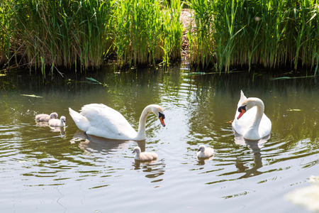 Swan family. Father swan mother swan and baby chicks children kids swans. Birds floating on water in a pond in the reeds. A symbol of fidelity, love and tenderness. Standard-Bild - 101272018
