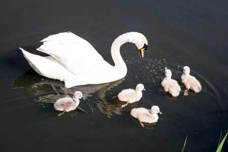 Newborn babies chicks swan. Mother swan teaches five swans to get food. Little swans swim in the water with my mother. Ecology and animal care concept. Standard-Bild - 101381376