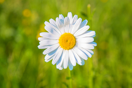 Daisy on the meadow closeup. Summer floral background. Bright white and yellow camomile daisy flower, summer and sun symbol. Macro shot Standard-Bild - 102004017