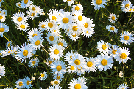 Daisies on a flowering meadow. Summer floral background. Bright white and yellow camomile daisy flowers, summer and sun symbol. Standard-Bild - 101994724