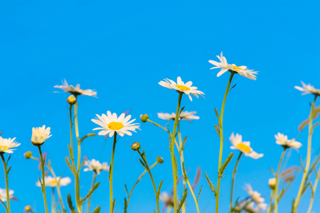 Daisies on a flowering meadow. Summer floral background. Bright white and yellow camomile daisy flowers against the blue sky, summer and sun symbol. Standard-Bild - 102144137