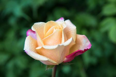 Drops of rain or dew on the delicate petals of a rose flower. Rose flower in morning dew close-up. Floral fragrant summer background. Macro shot. Standard-Bild - 112586632