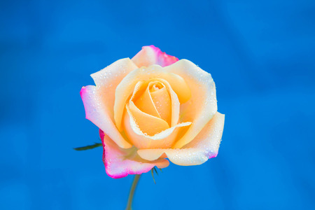Drops of rain or dew on the delicate petals of a rose flower. Rose flower in morning dew close-up. Floral fragrant summer background. Macro shot. Standard-Bild - 112586635