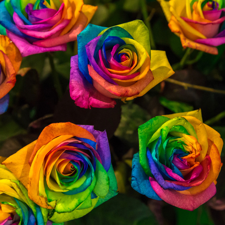 Rainbow roses. Bright colorful blooming lively roses painted in the colors of the rainbow. Variety and diversity concept. Rainbow floral background. Stock fotó