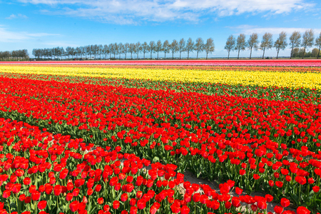 Tulip spring field. Multicolored flowers tulips and spring blue sky. Floral background.