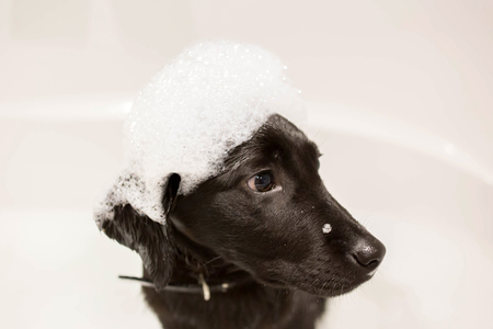 Dog Labrador Retriever washes his head in the bathroom. A cute black little puppy Labrador Retriever sits in a bath with a cap of foam on his head. Pets care, hygiene and education.