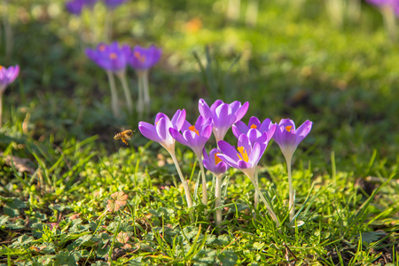 The first bees at the end of winter or at the beginning of spring! The bees are awake. Colorful spring fragrant flowers crocus and green grass. Spring bright floral background.