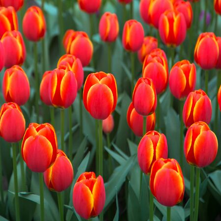 Tulips flowers. Bright spring multicolored flowers tulips. Spring floral background. Imagens