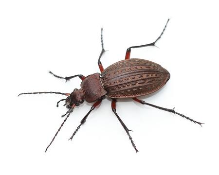 carabus:  Ground beetle  Carabus granulatus  over white