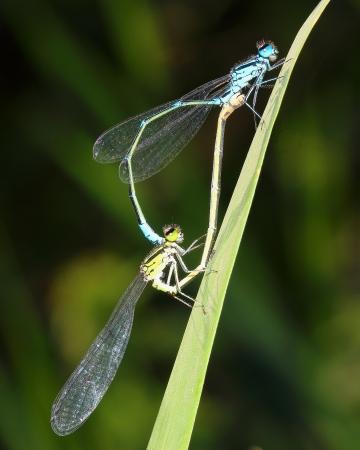 copulate: couple damselflies copulate on grass Stock Photo