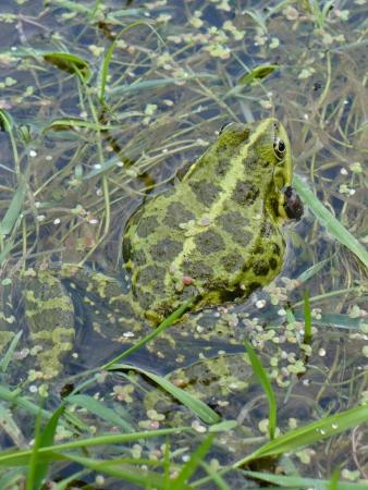 anuran:  frog swimming among water plants Stock Photo