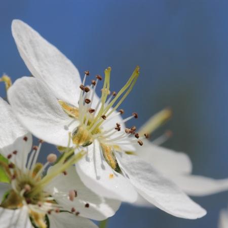 apple blossom: Apple flower  macro