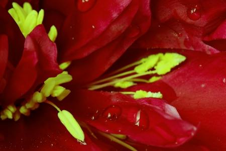 stamens: Stamens and petals of peony  Macro Stock Photo