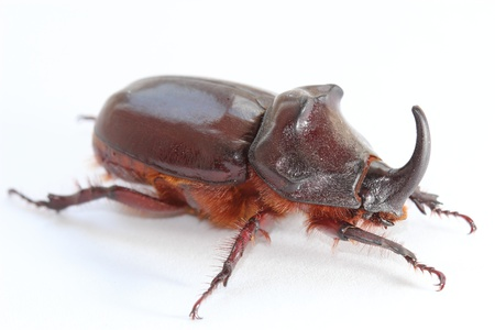 oryctes: European rhinoceros beetle (Oryctes nasicornis). Closeup