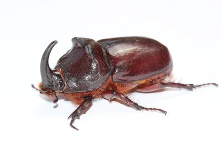 oryctes: Male of european rhinoceros beetle (Oryctes nasicornis) Stock Photo