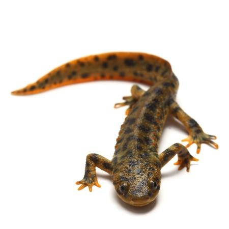Spanish ribbed newt (Pleurodeles waltl) Stock Photo