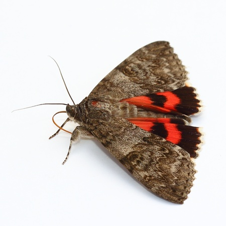 underwing: Moth - Red Underwing  Catocala nupta  over white