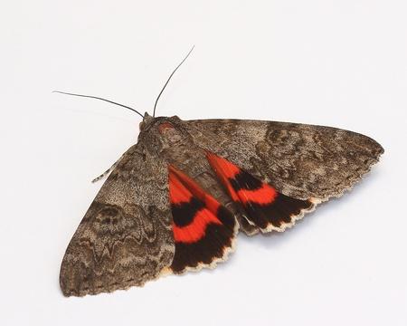 underwing: Moth - Red Underwing  Catocala nupta