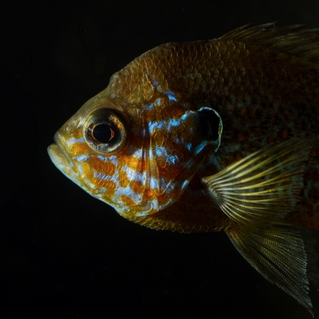 sunfish: Head of pumpkinseed sunfish  Lepomis gibbosus