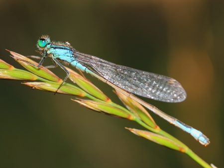 invertabrate: damselfly with morning dew
