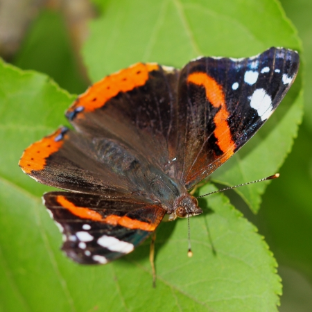 admiral:  butterfly - Red Admiral (Vanessa atalanta). Close-up Stock Photo