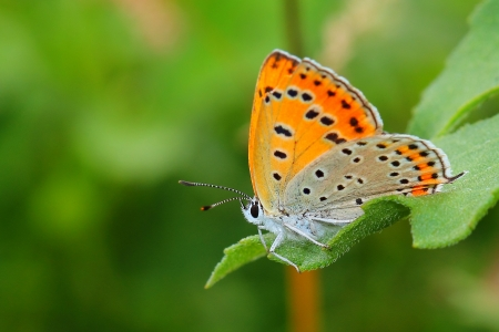butterfly - Large Copper (Lycaena dispar). Close-up 写真素材