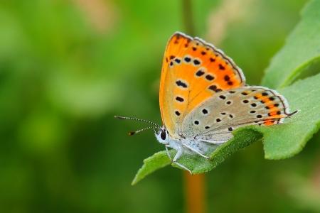 butterfly - Large Copper (Lycaena dispar). Close-up Stock Photo