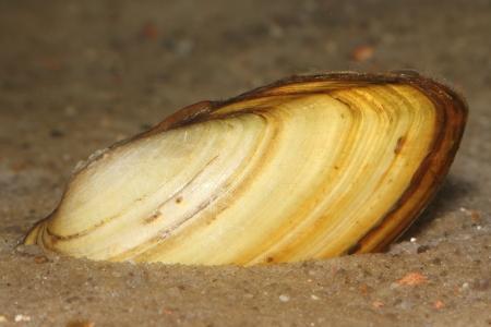 swan mussel (Anodonta cygnea) in sand
