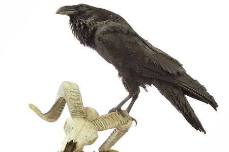 Common Raven sitting on sheep skull photo