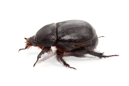 earth-boring dung beetle over white  side view photo