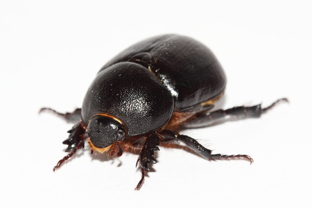 geotrupes: earth-boring dung beetle over white