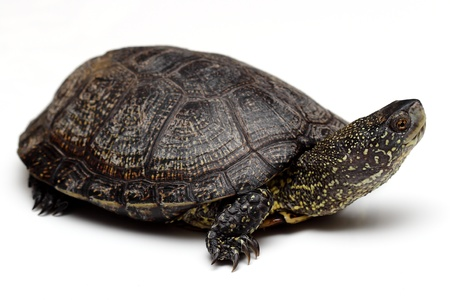 freshwater turtle:  European pond turtle over white