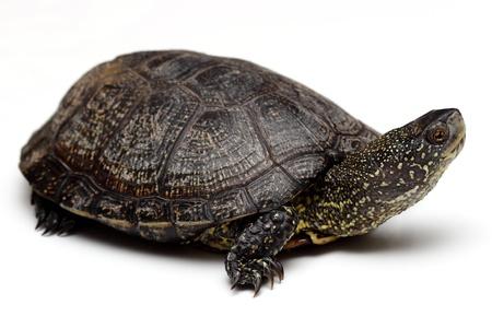 emys:  European pond turtle over white