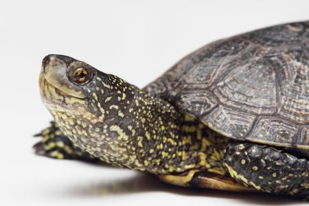 emys:  European pond turtle over white  closeup
