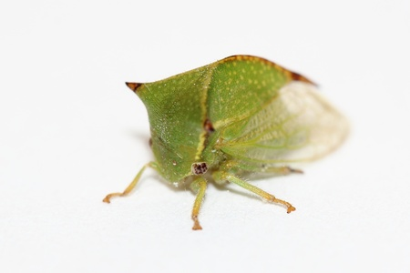 Treehopper over white photo