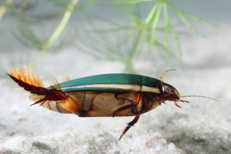 dytiscus: great diving beetle (Dytiscus marginalis) under water Stock Photo