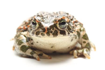 viridis: green toad (Bufo viridis) over white