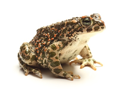bufo bufo: green toad (Bufo viridis) over white