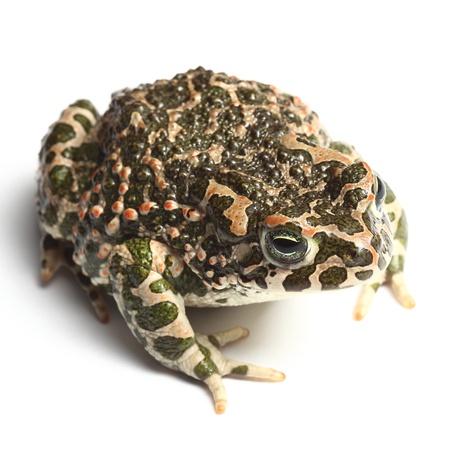 anura: sapo verde (Bufo viridis) aislado m�s de blanco